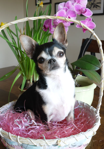 easter chi-bunny 660