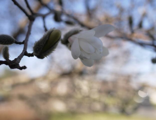 magnolia 644