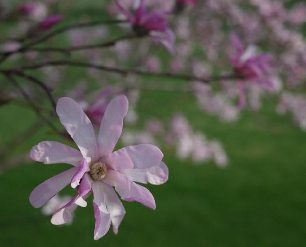 pink magnolia 743