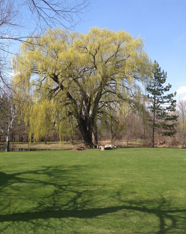 weeping willow budding 1699