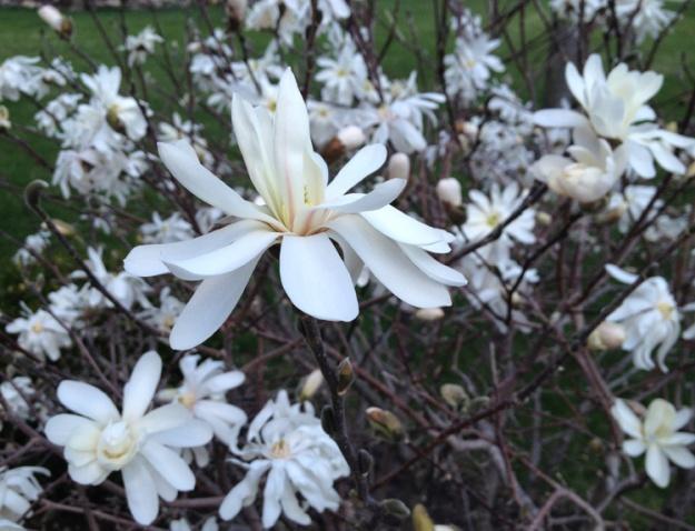 white magnolia 1687