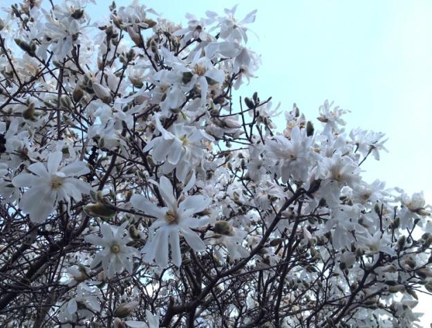 white magnolia 1692