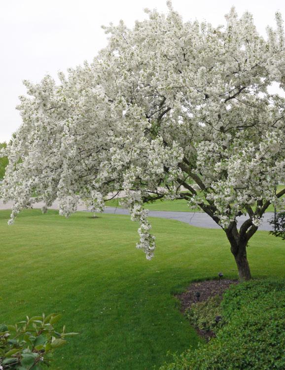 crabapple tree 372