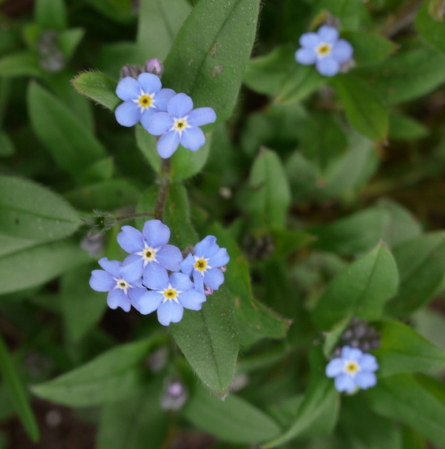forget-me-not 158