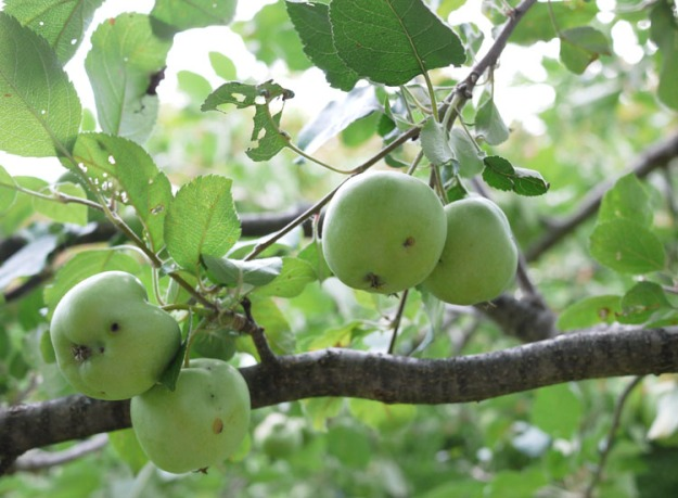 apples 970
