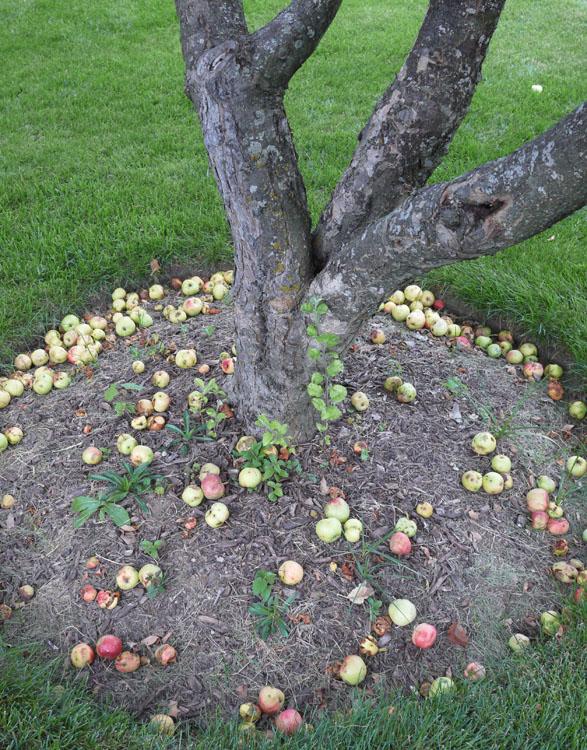 fallen apples 972