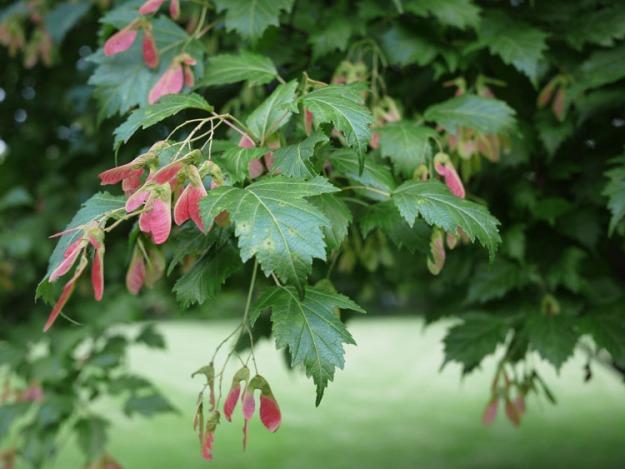 maple seeds 967
