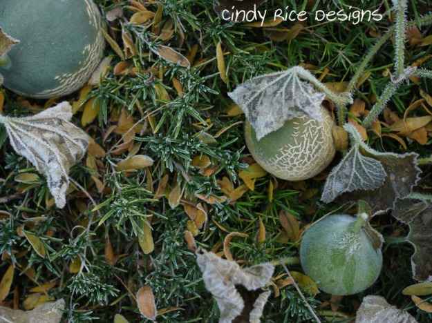 frost melons 729