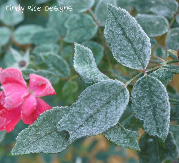frost roses 723