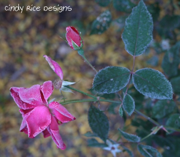 frost roses 727