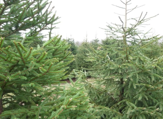christmas tree farm 667