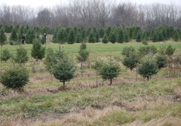 christmas tree farm 674