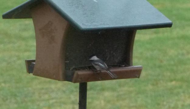 chickadee feeder 263