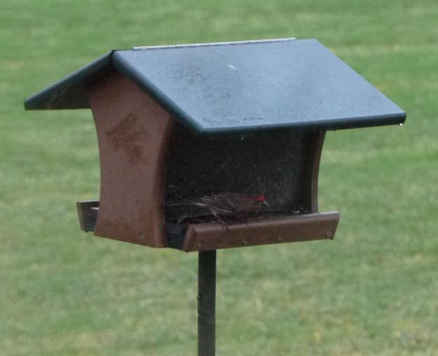 house wren feeder 264