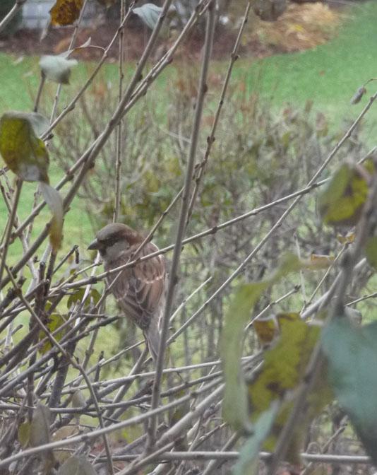 sparrow waiting 846