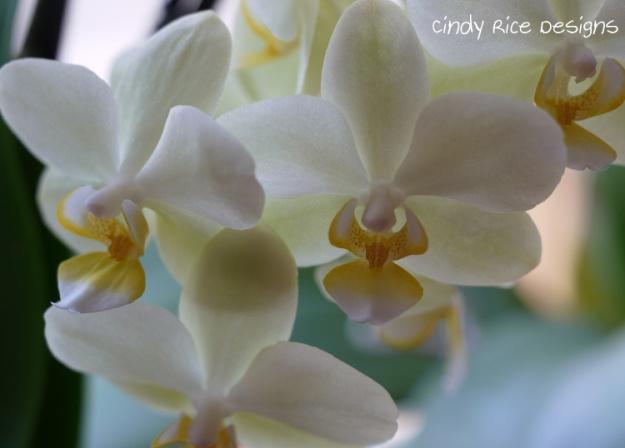 orchids 464