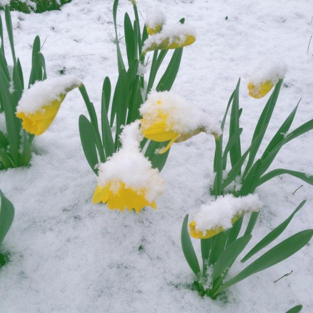 daffodils 2493