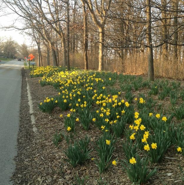daffodils 2550