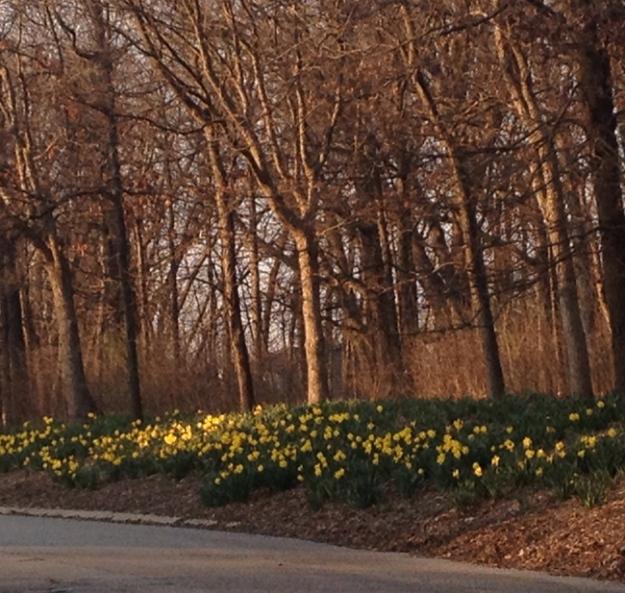 daffodils 2557