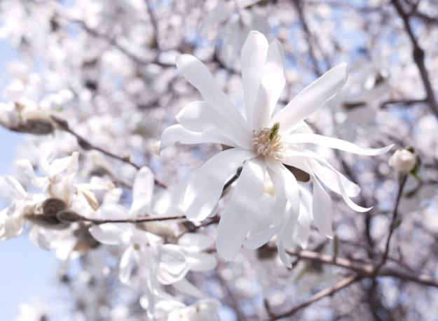 magnolia 953