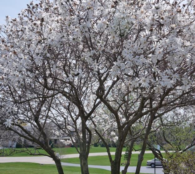 magnolia 967