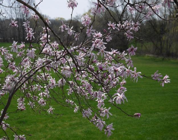 magnolia 981