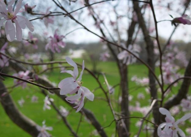 magnolia 986