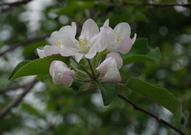 apple tree blossoms 434