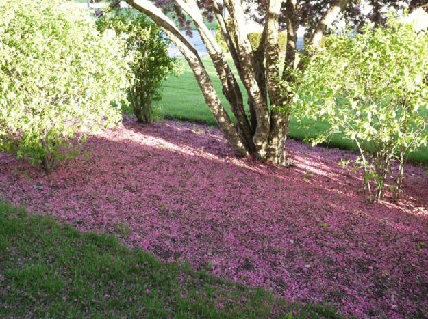 crabapple petals 513