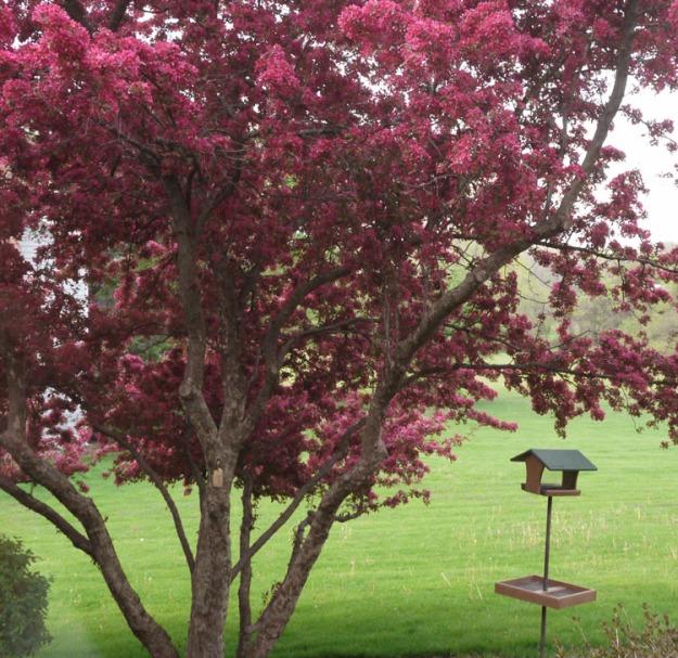 crabapples pink 409