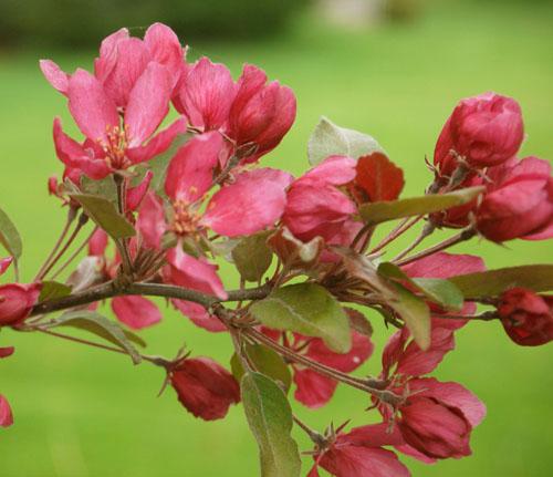 crabapples pink 467