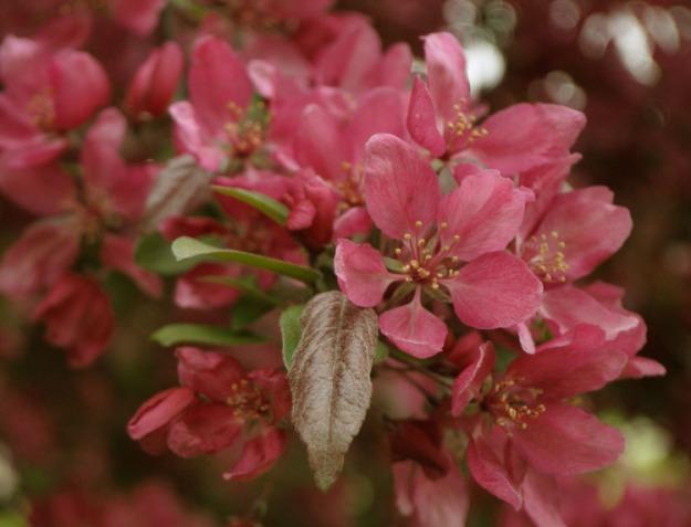 crabapples pink 468