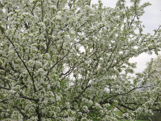 crabapples white 435