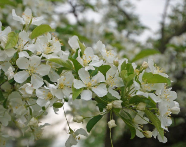 crabapples white 436