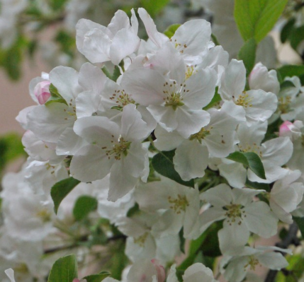 crabapples white 459