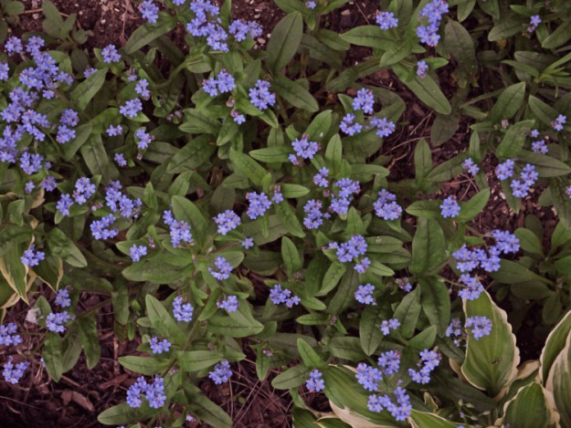 forget-me-nots 428