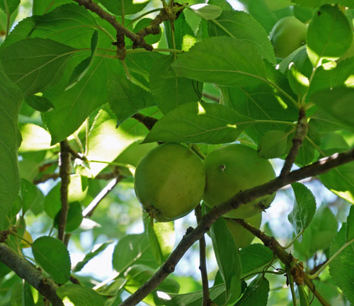apples 961