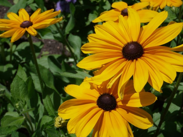 black eyed susan 023