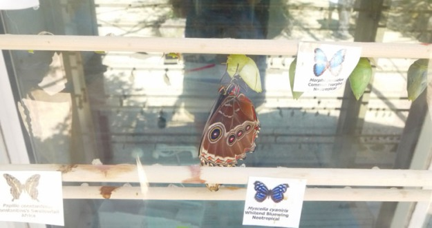 butterfly chrysalis 884