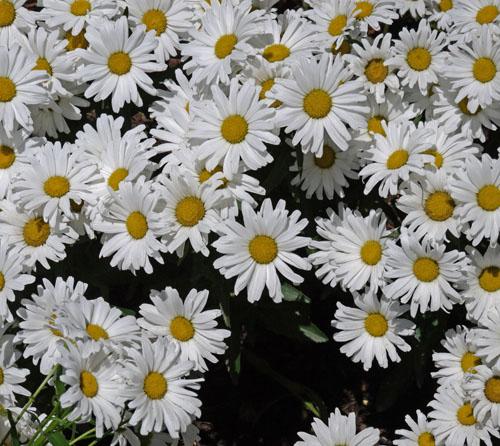 daisies 965