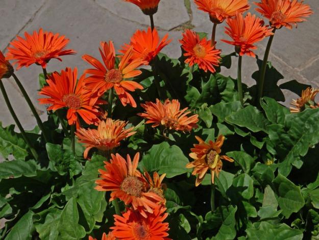 gerbera daisies 974