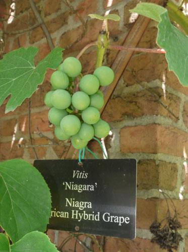 grapes 006
