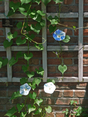 morning glories 015