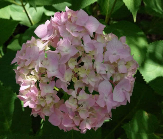 pink hydrangea 890