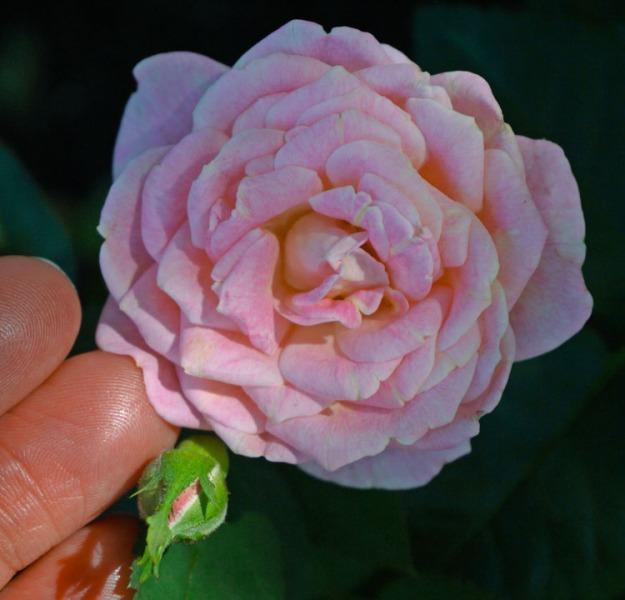 rose pink 926