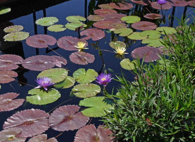 water lilies 902