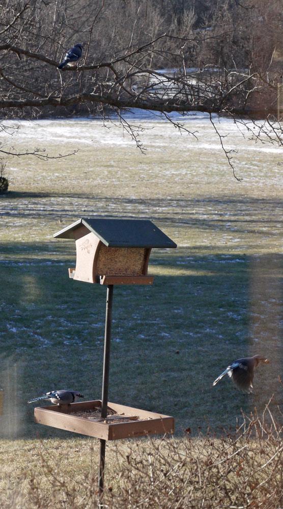bird-feeder-blue-jays-142