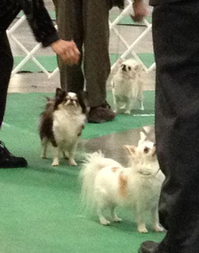 dog-show-chihuahuas-3211