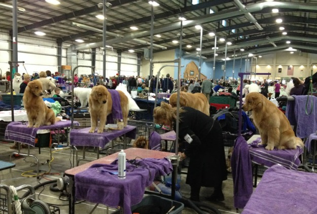 dog-show-goldens-3202