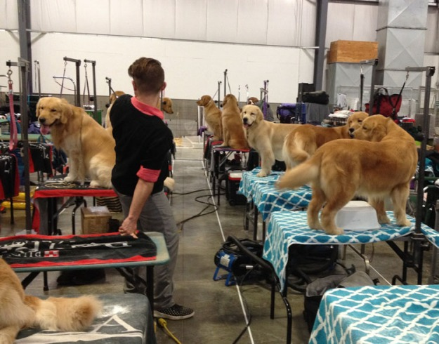 dog-show-goldens-3205